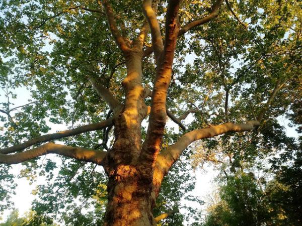 Baum in der Abendsonne, Blick von unten