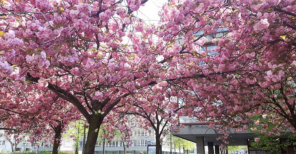Kirschbäume vor Kölner VHS